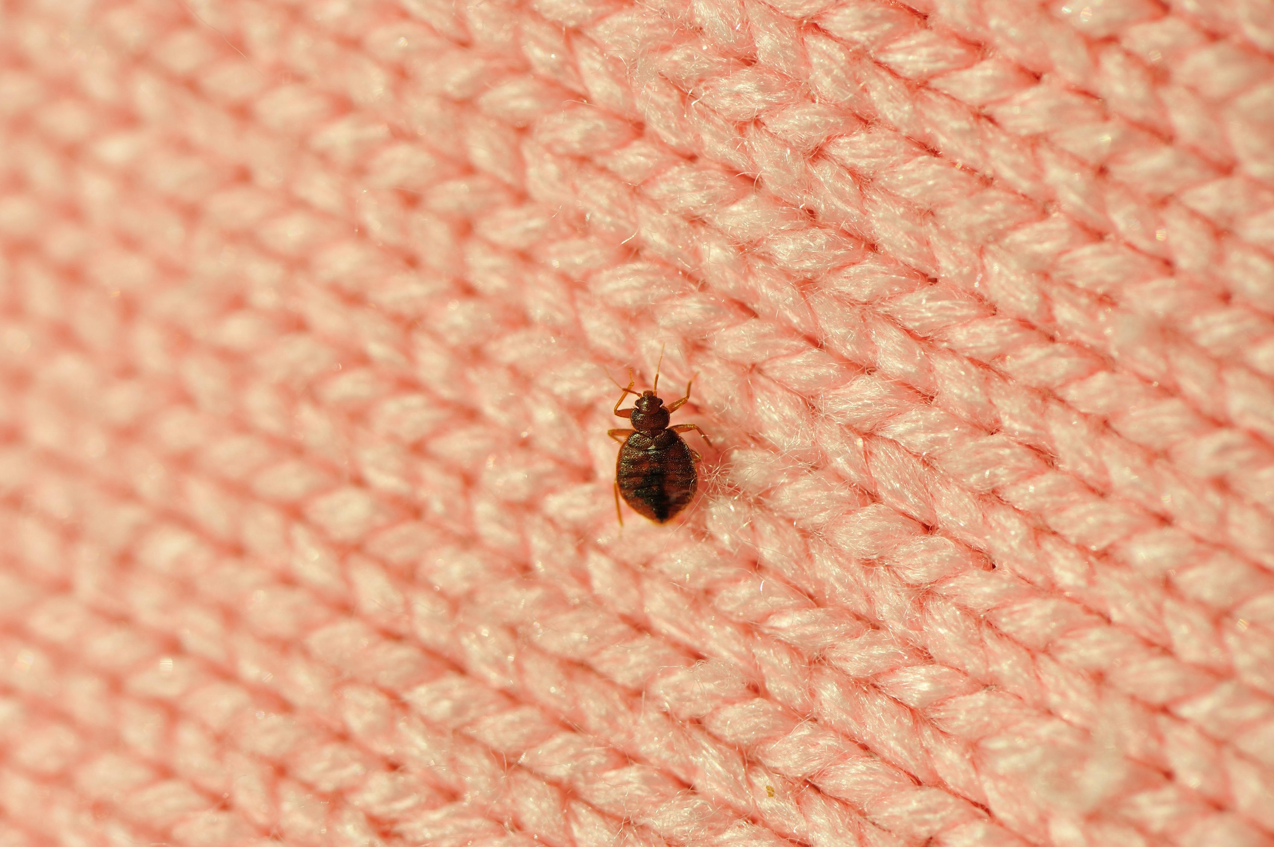smallbedbug
