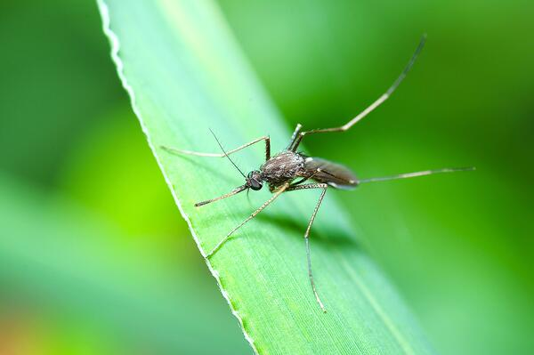 mosquito_on_leaf