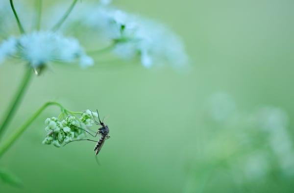 mosquitoonplant