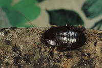 oriental cockroach (waterbug)