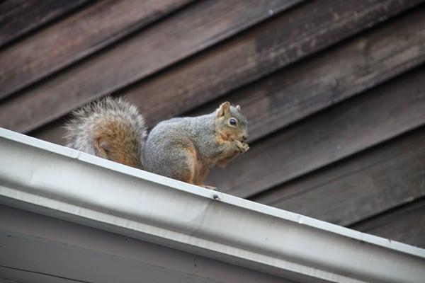 squirrelsaspest