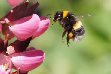 stingingpests101; Bumble Bee with Flower