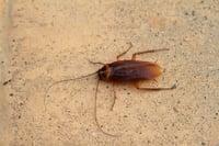 palmetto-bugs