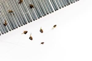 flea-comb