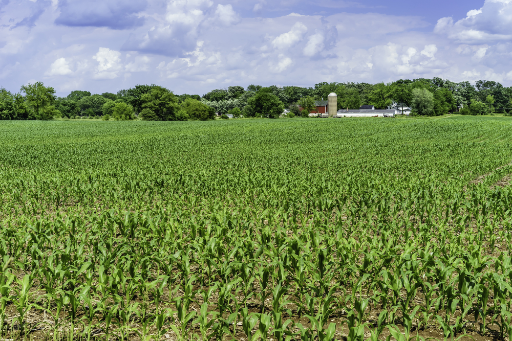 Field of corn early in June, with community dairy farm and windbreak of deciduous trees in the distance, northern Illinois-1