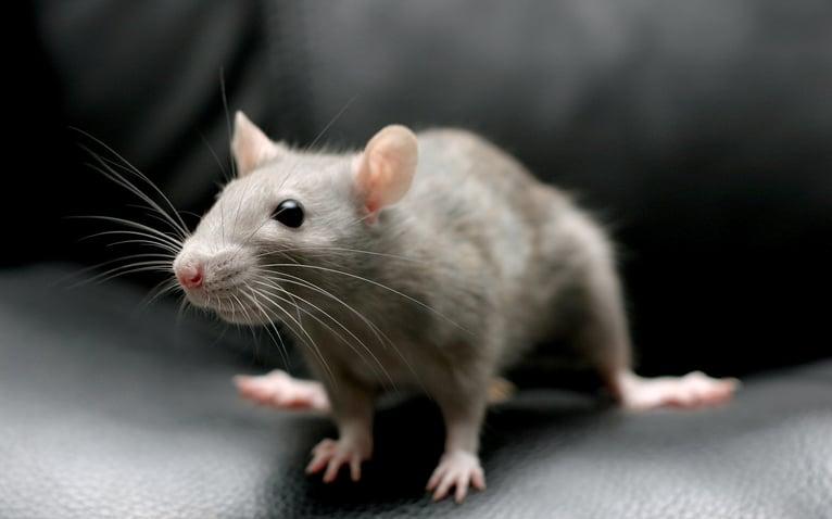 mice-pest-control.jpeg