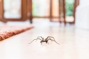 Common household spider