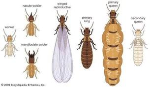 termite-types.jpg
