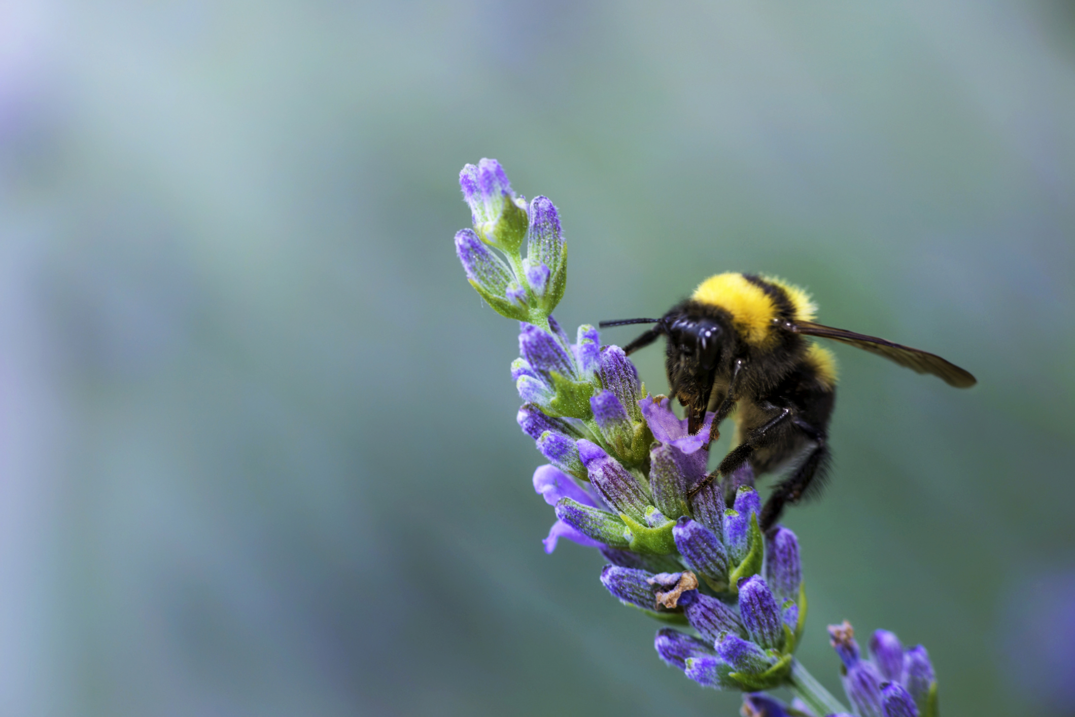 Bumble Bee Image 03