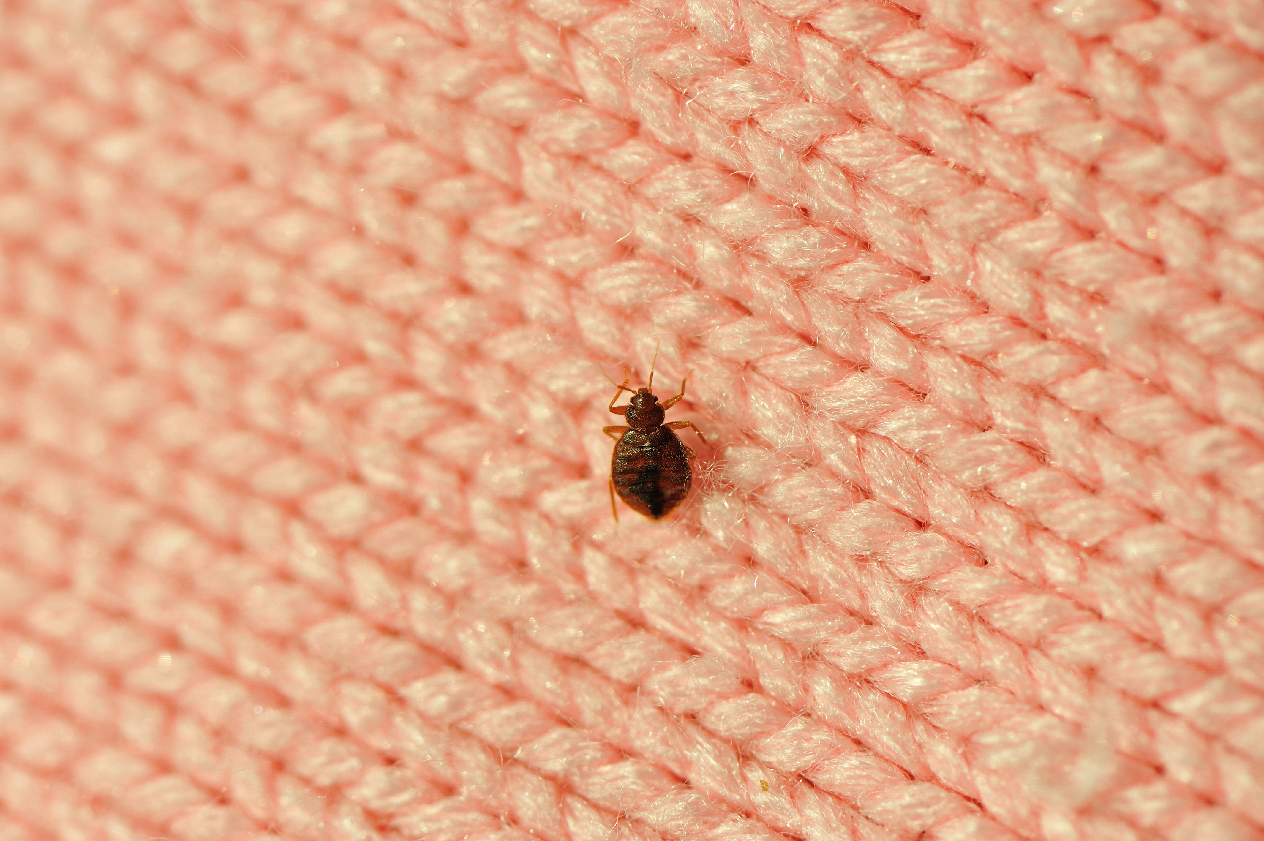 Bed Bugs Image 02