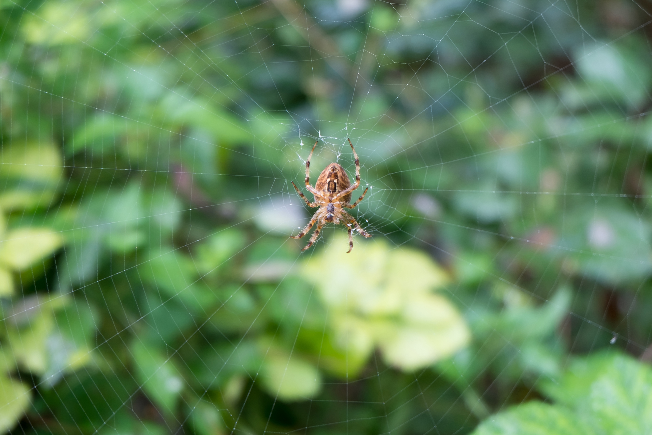 Brown Recluse Spider Image 02