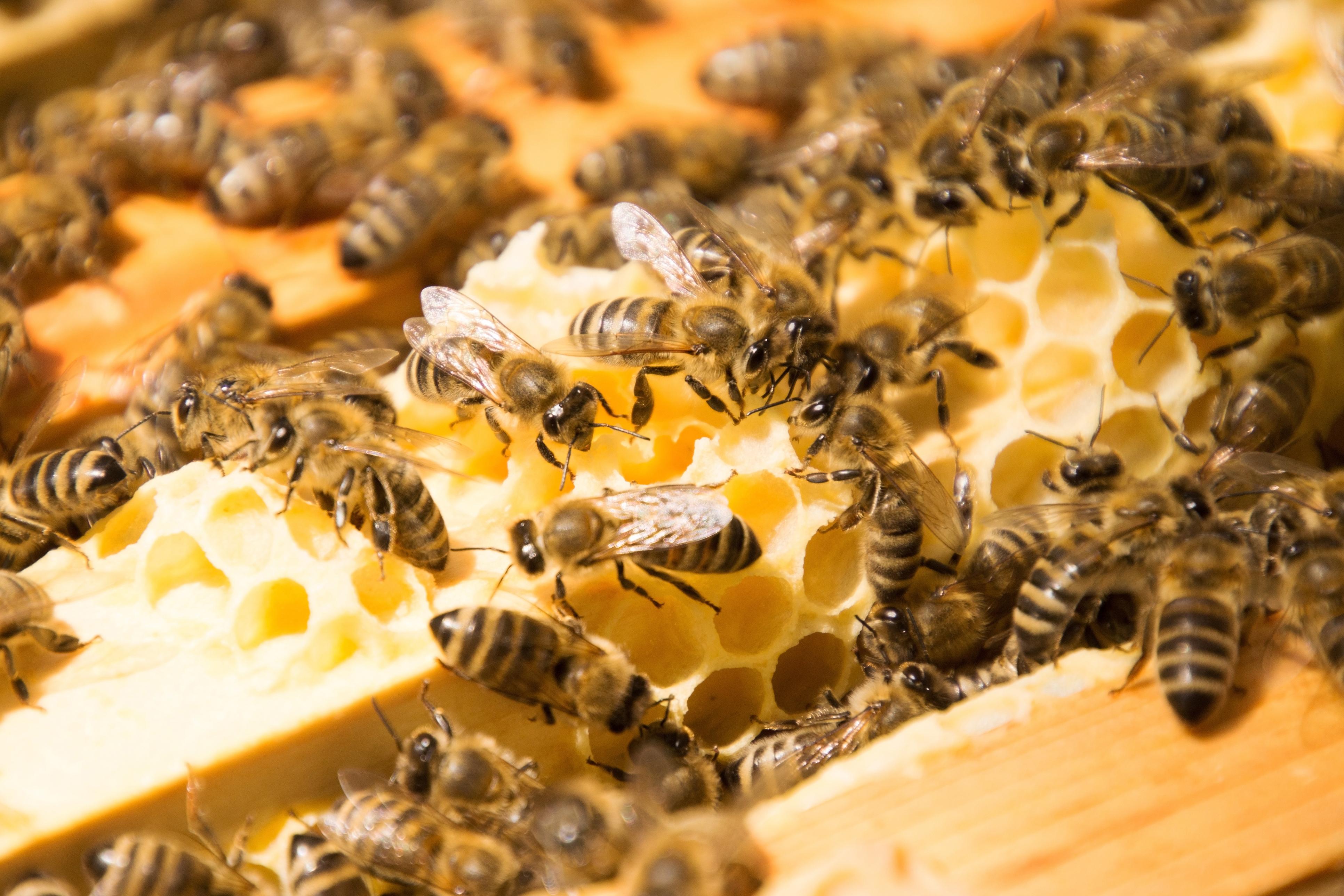 Honey Bee Image 02