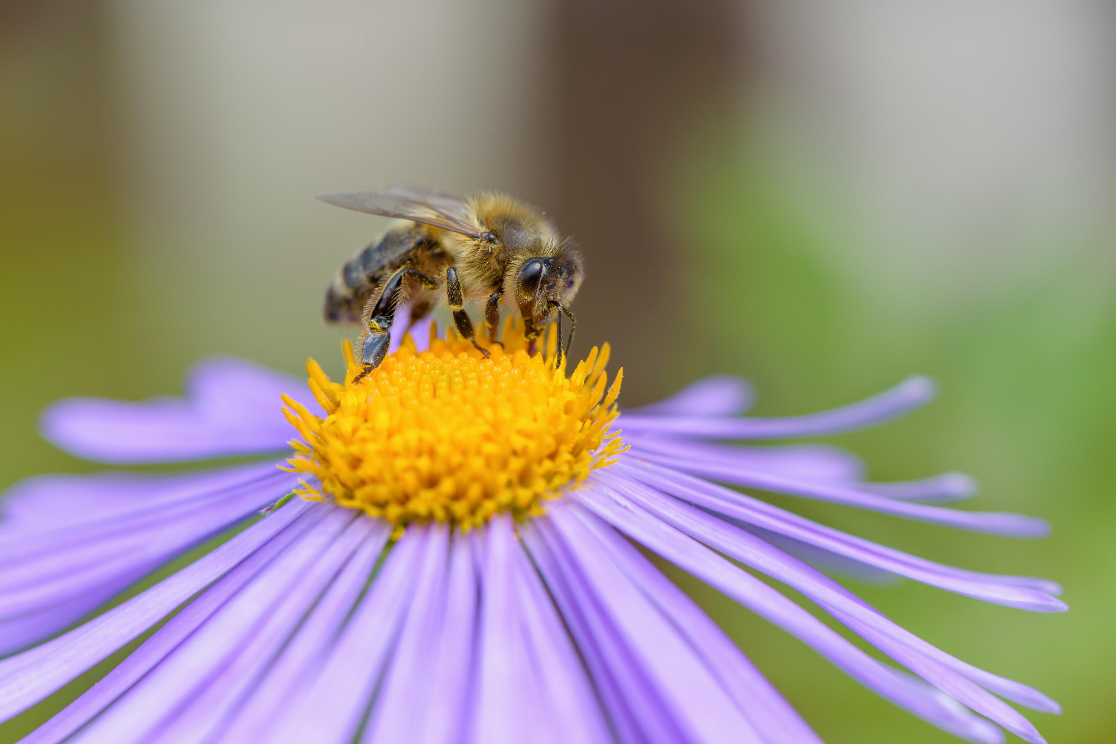 Honey Bee Image 01