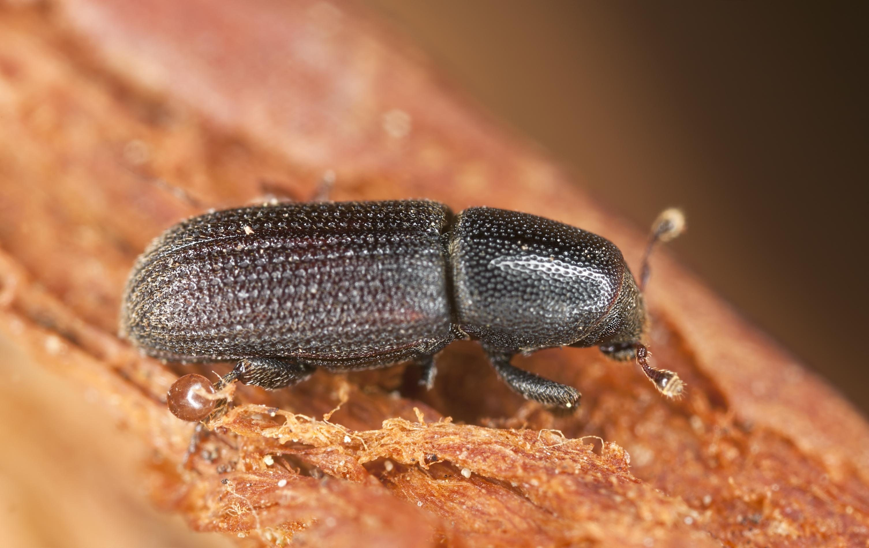 Powderpost Beetle Image 02