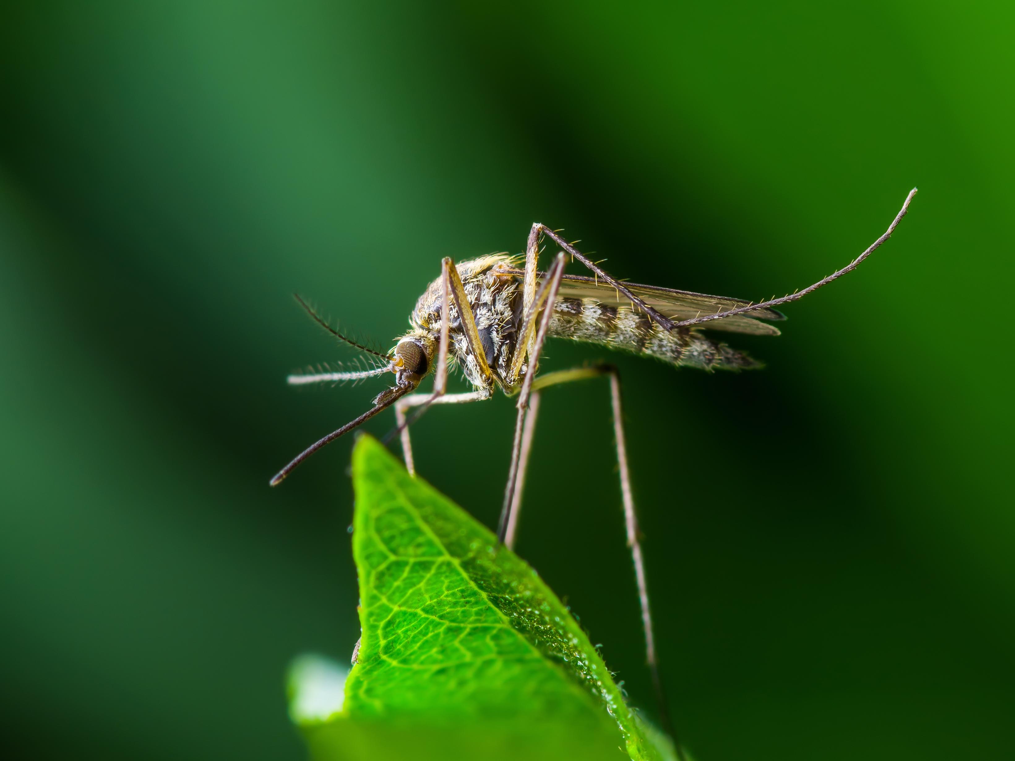 Yellow Fever Mosquito Image 03