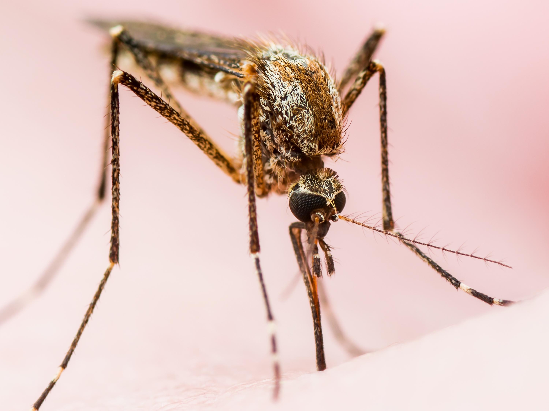 Yellow Fever Mosquito Image 02