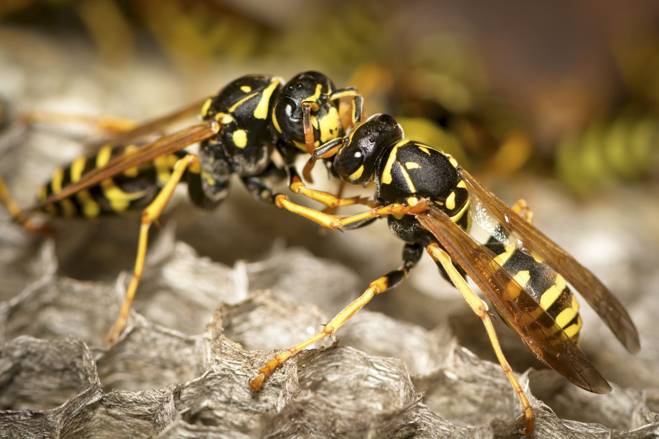 Yellowjacket Image 01